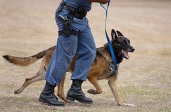 Tysk herde Police Dog och förlagehanterare Arkivbilder