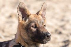 Tysk herde Puppy Head royaltyfri fotografi