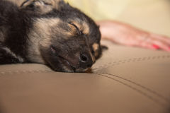 Tysk herde Puppy Sleeping Royaltyfri Fotografi