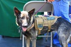 Tysk herde Service Dog för veteran Arkivbilder