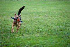 Tysk herde som spelar med en leksak Fotografering för Bildbyråer