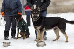 Tysk herde, vakt och polishund i vintern royaltyfri foto