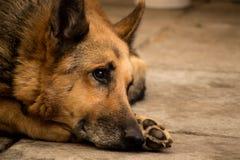 Tysk hund Arkivbilder