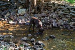 Tysk hund för Shorthaired pekare som dricker från en ström Royaltyfri Foto