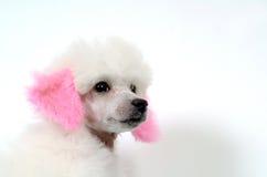 tysk poodle Royaltyfria Bilder