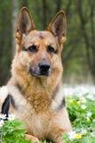 tysk sheepdog royaltyfri bild
