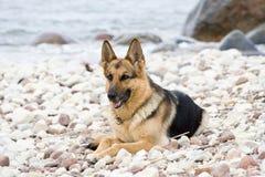 tysk sheepdog royaltyfri foto