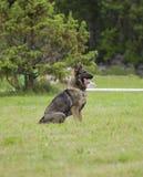 tysk sheepdog arkivbild
