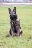 tysk sheepdog fotografering för bildbyråer