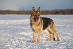 tysk sheepdog royaltyfria bilder
