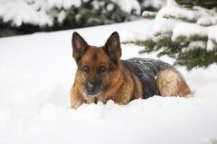 tysk sheepdog arkivfoto