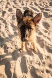 tysk shepard Royaltyfri Foto