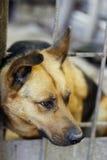 Tysk Shepard hund Royaltyfri Foto