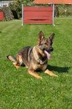 Tysk shepard på hundutbildning Arkivbild