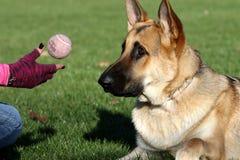 Tysk Shepard som fast beslutsamt stirrar på hans boll som kastas Arkivbilder