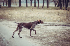 Tysk shorthaired pekare - jägarehund Royaltyfri Fotografi