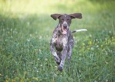 Tysk shorthaired pekare - jägarehund Arkivfoto
