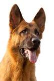 tysk ståendesheepdog royaltyfri foto