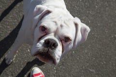 Tysk utomhus- boxarestående för vit rashund Arkivfoto