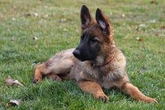 tysk valpherde Royaltyfri Fotografi