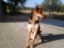 Tysk vargträdgård för hund Fotografering för Bildbyråer