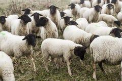 Tyska får för flock utanför på ett fält fotografering för bildbyråer