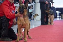 Tyska herdar en utställning av hundkapplöpning Arkivfoto