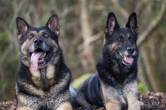 Tyska herdar för syskongrupp royaltyfri fotografi
