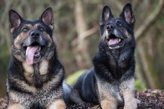Tyska herdar för syskongrupp arkivfoto