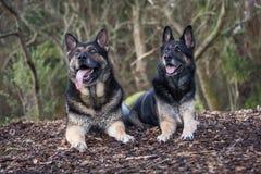 Tyska herdar för syskongrupp royaltyfri foto