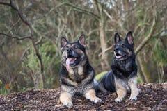 Tyska herdar för syskongrupp fotografering för bildbyråer