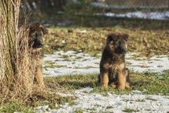 Tyska herdar kör i trädgården i snön royaltyfri fotografi