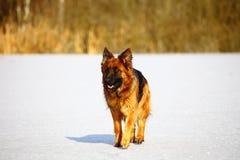 Tyska herdar på snowen Arkivbilder