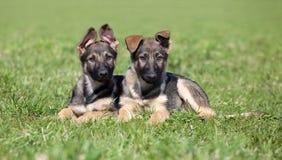 tyska puppys valler två Royaltyfri Foto