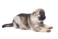 Sheepdogsvalp royaltyfria bilder