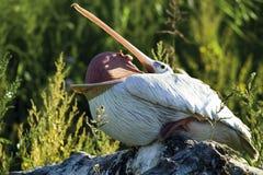 Tyskland Gelsenkirchen, zoom Erlebniswelt, pelikan Royaltyfria Foton