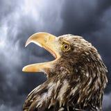 Tyskland Hellenthal, skalliga Eagle, närbild Royaltyfria Bilder