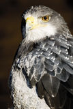 Tyskland Hellenthal, Svart-chested vråkörn Royaltyfria Foton