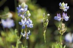 Tyskland Lupineettårig växt, slut upp Fotografering för Bildbyråer