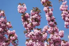 Tyskland norr Rhen-Westphalia, körsbärsröda blomningar Arkivfoto