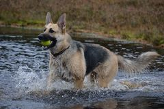 TyskShepard spring till och med vatten royaltyfri bild