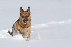Tyskt herdespring för lycklig purebred i snowen royaltyfria bilder