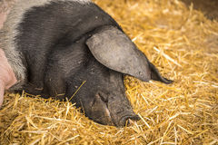 Tyskt svin som sover på hö arkivfoton