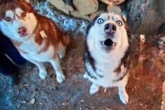 Tysta ned att tjuta hunden, bästa sikt Roliga Siberian skrovliga tjut med hans huvud upp Gullig svartvit skrovlig hund med blåa ö arkivbild