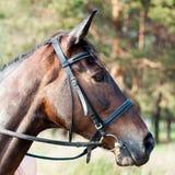 Tysta ned av brun häst Royaltyfri Bild