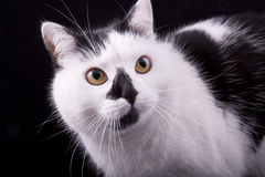 tysta ned av closeupen för den vita och svarta katten Royaltyfri Bild