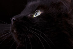 tysta ned av en closeup för svart katt Arkivfoton