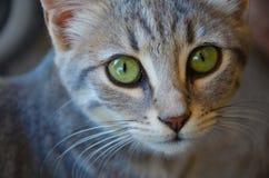 Tysta ned av en grå strimmig kattkatt med vibrerande gröna ögon royaltyfri fotografi