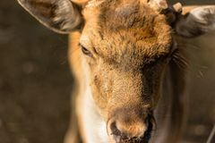 Tysta ned av en hjort, utan horn Arkivbilder