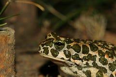 Tysta ned av en padda (Bufo viridis) arkivfoton